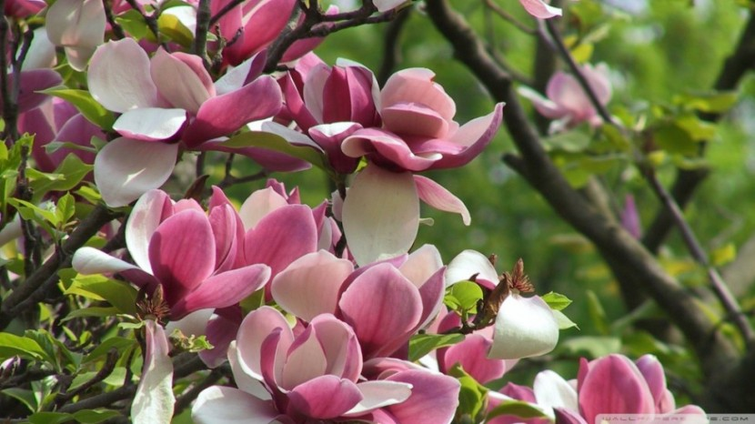 amazing-blooming-tree-spring-wallpaper-980x551