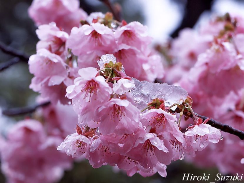 cherryblossoms-1