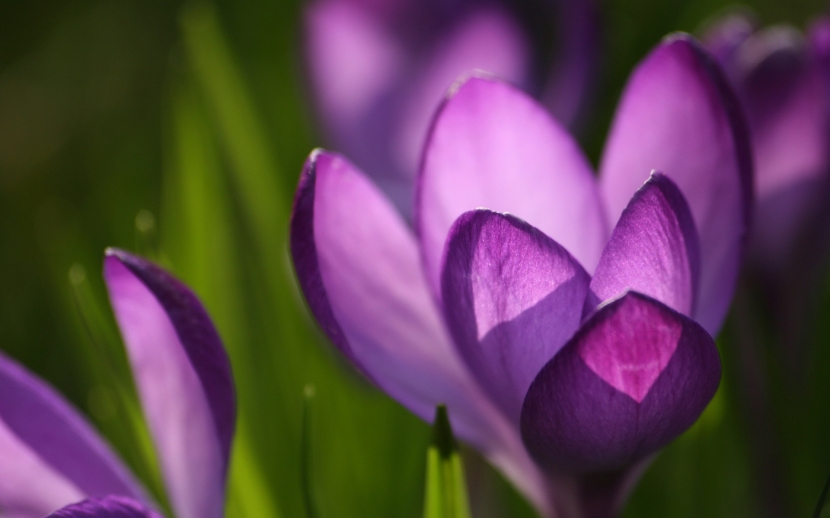 crocus-spring-wallpapers_8452_1920x1200