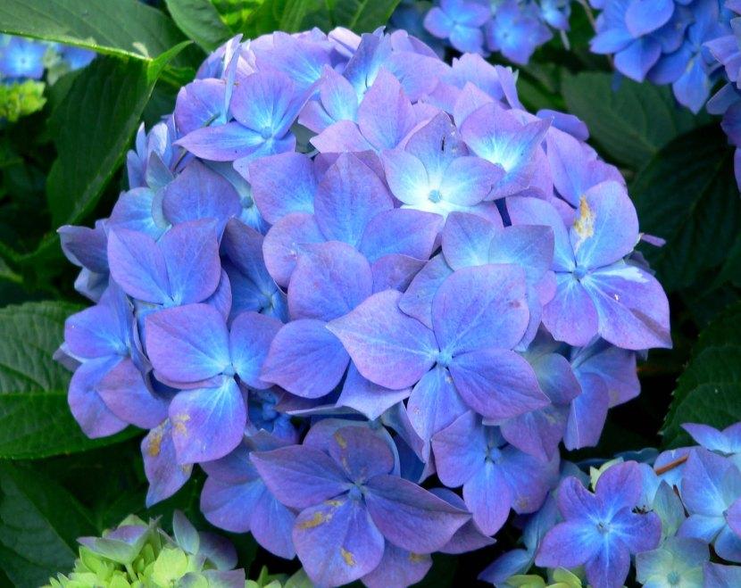 Hydrangea_macrophylla_Blauer_Prinz_2