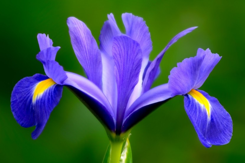 incredible-springtime-iris-980x653