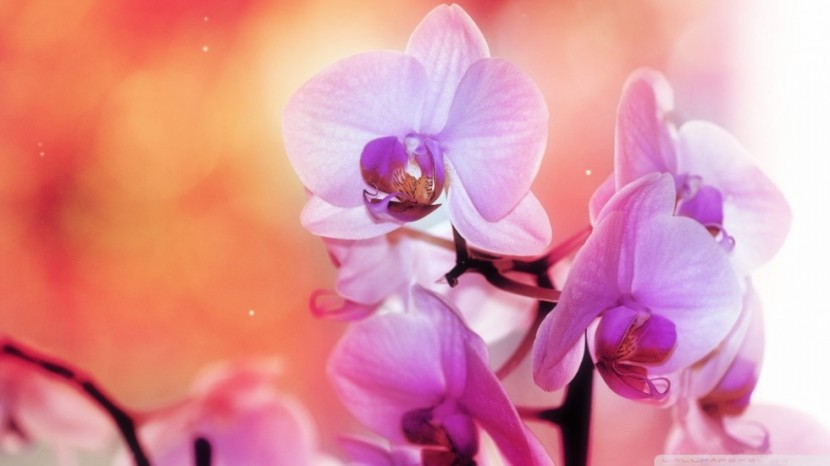 spectacular-orchid-flowers-wallpaper-980x551