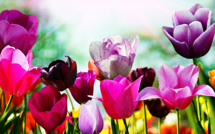tulips-in-spring-wallpapers_31056_2560x1600